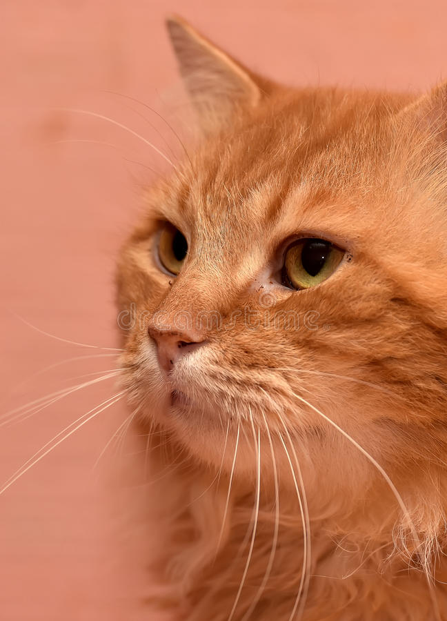 Large red fluffy housecat. Portrait royalty free stock photos