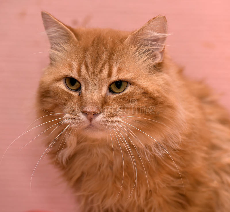 Large red fluffy housecat. Portrait royalty free stock photo