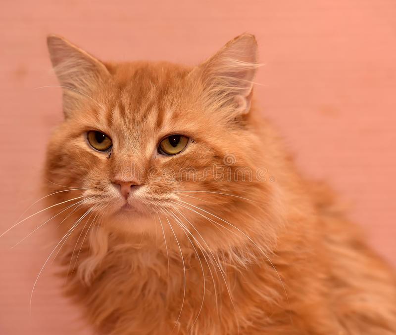 Large red fluffy housecat. Portrait royalty free stock image