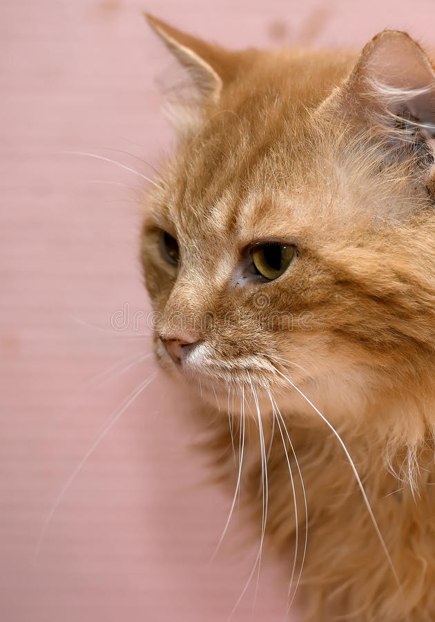 Large red fluffy housecat. Portrait stock photo