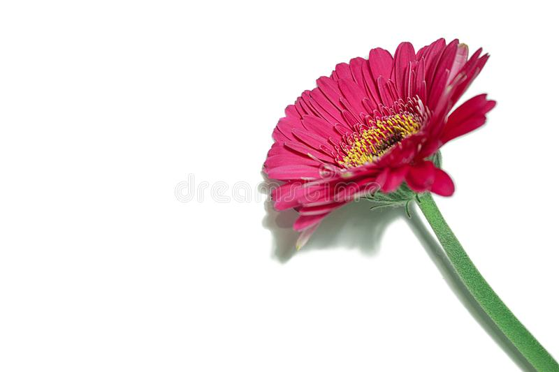 Large red gerbera flower with green stem stock photography