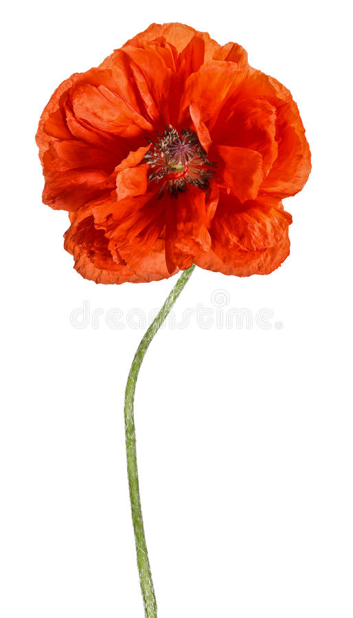 Large red open poppy isolated on white royalty free stock image