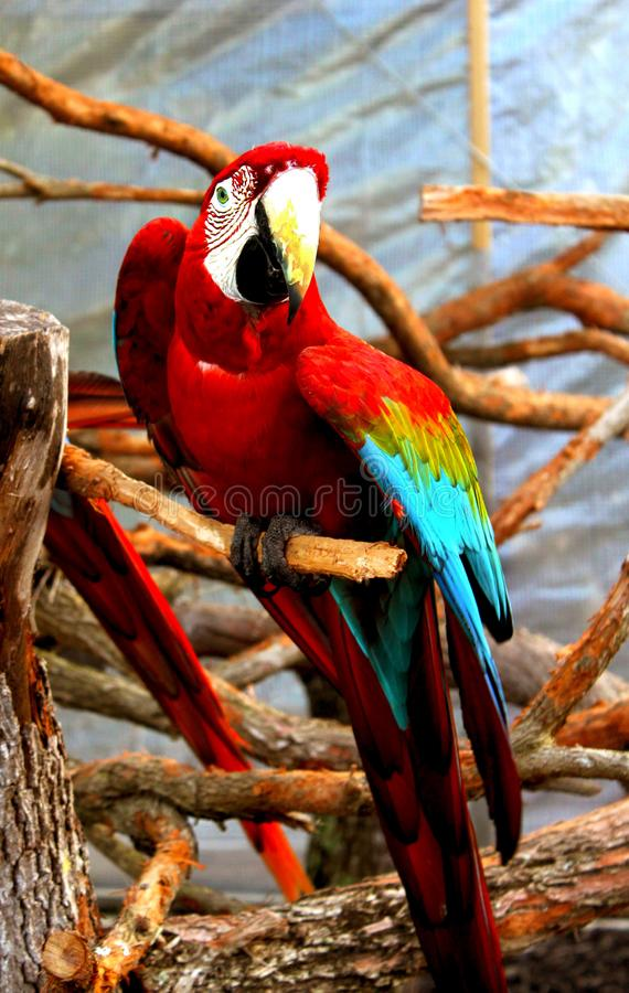 Large Red Parrot perched on a thick wood tree trunk stock photo