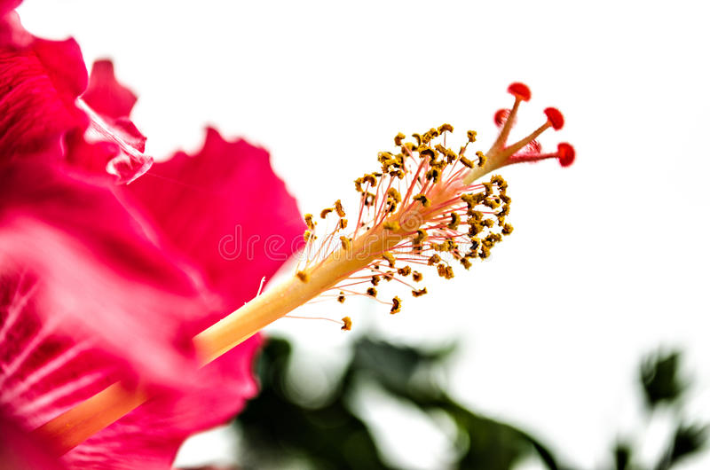 Large red pink flower. The center of a large pink/magenta flower in a garden royalty free stock photos