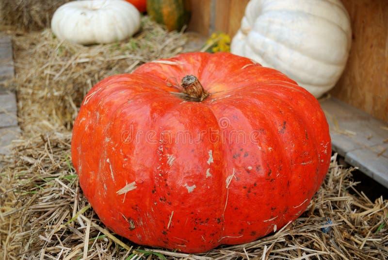 Large red ripe pumpkin