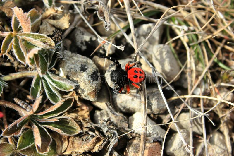 Red spider on the grass. Large red spider with black dots on the grass. Poisonous and non-venomous insects, bright spider owras, aggressive, nature in early royalty free stock photography