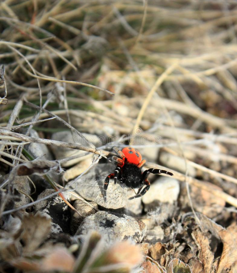 Red spider on the grass. stock photos