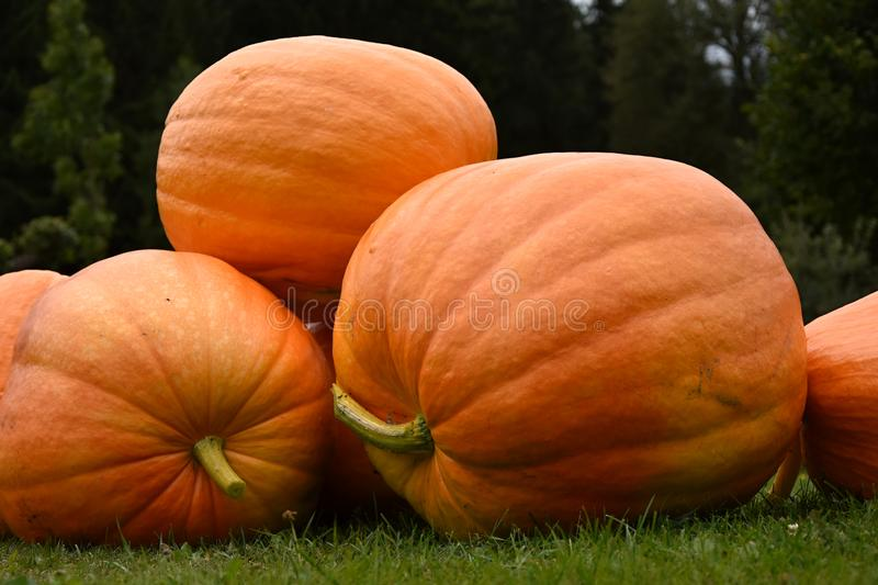 A large ripe pumpkin on a green lawn. A pile of pumpkins stock photos