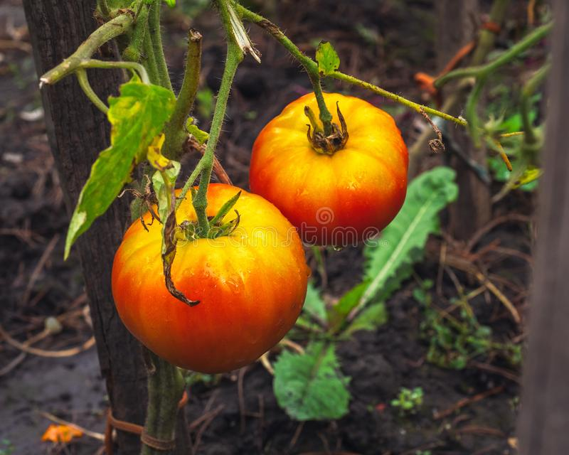 Large ripe tomatoes hang on the bushes in the village garden. Large ripe and red tomatoes hang on the bushes in the village garden stock images
