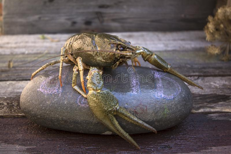A large river cancer. On a stone royalty free stock photo