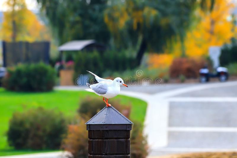 A large river white gull sits on a wooden post against the background of an autumn park with yellow trees. Dnipro, Dnipropetrovsk, Dnipropetrovsk, Dnepr stock images