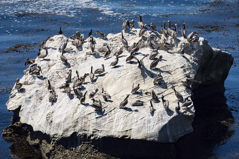 Large rock with many Pelicans, Pismo Beach, Ca stock images