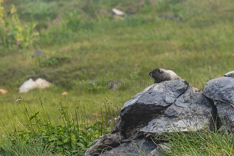 Large rock with marmot on top sits in subalpine meadow royalty free stock image