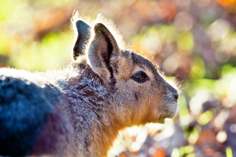 Download Large rodent stock image. Image of furry, animal, patagonia - 22366679