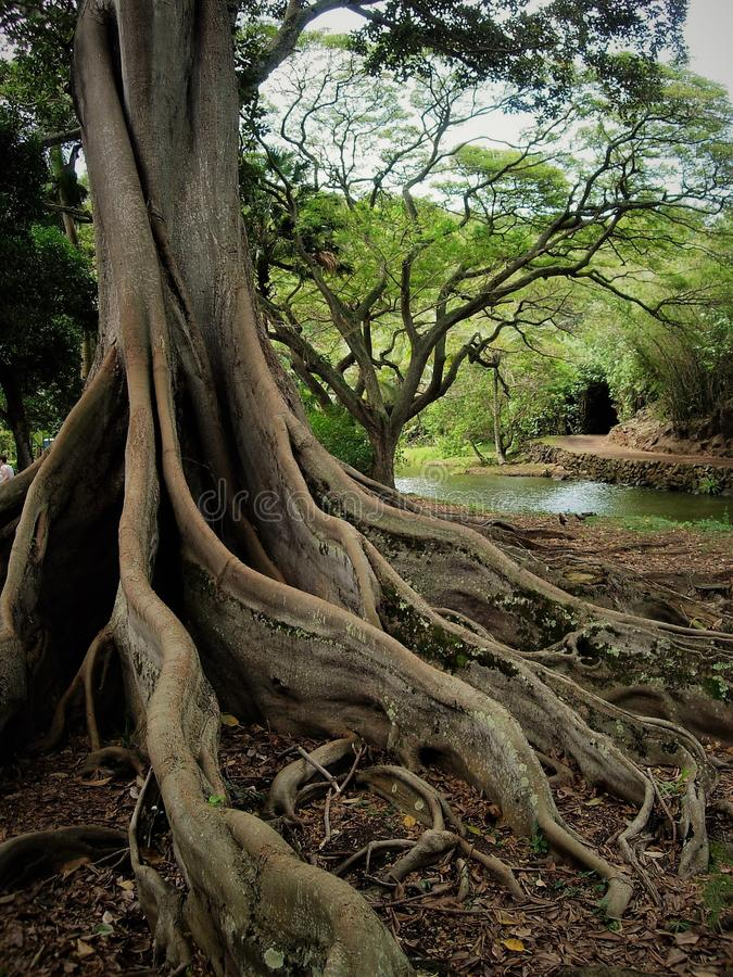 Large roots of Fig Tree reaching out along the ground next to pond on Kauai Hawaii. Roots of large Fig tree reaching out along the ground next to a pond on Kauai stock images