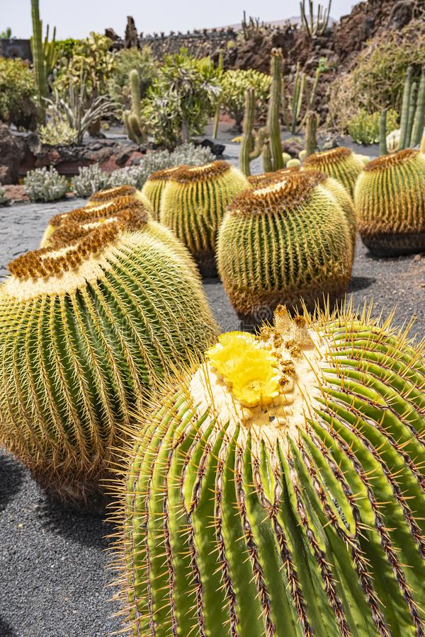 These large round cacti in Jardin de Cactus bloom with beautiful yellow flowers, Lanzarote, Spain.  royalty free stock image