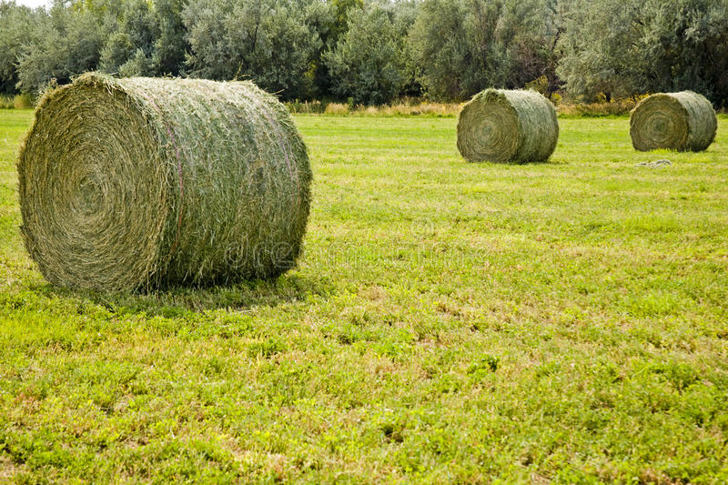Large round hay bales. Huge alfalfa round hay bales wait for pickup in the farmers field royalty free stock images