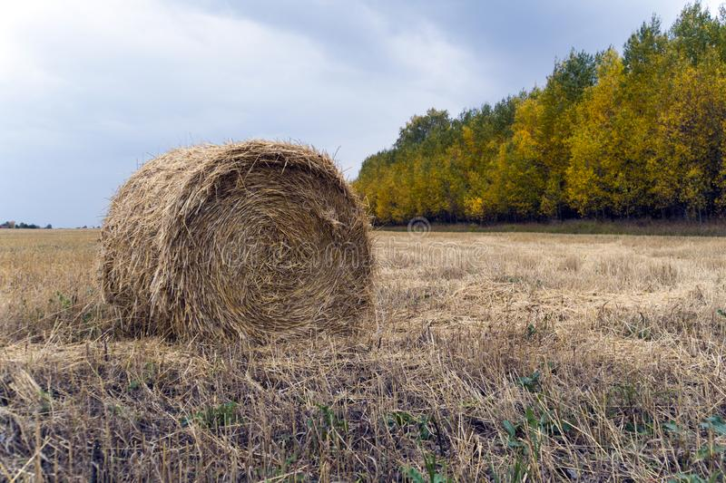 Large Round stack of dry hay on a background autumn forest. Harvesting in the fields. Round bale of dry grass in the foreground royalty free stock image