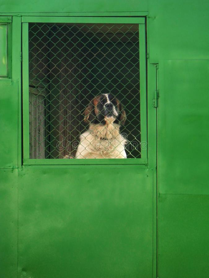 Large Saint Bernard dog stands on its hind legs indoors and looks out through the net. stock photos