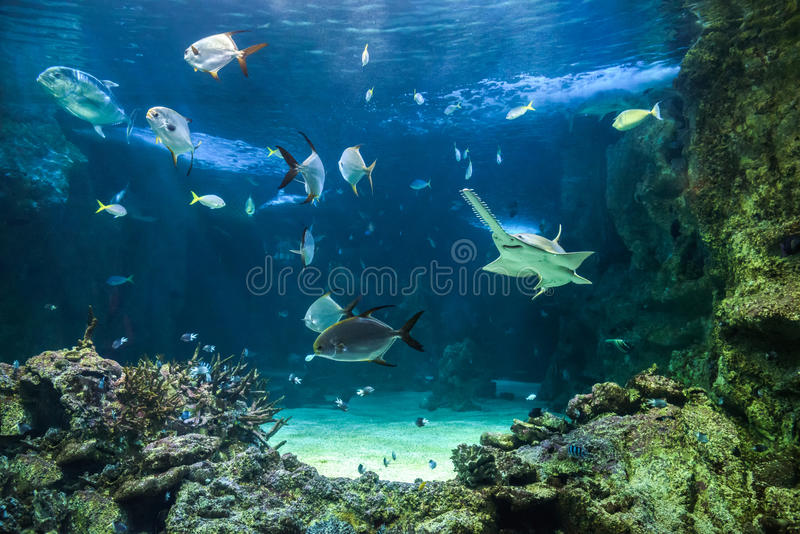 Large sawfish and other fishes swimming in a large aquarium royalty free stock image