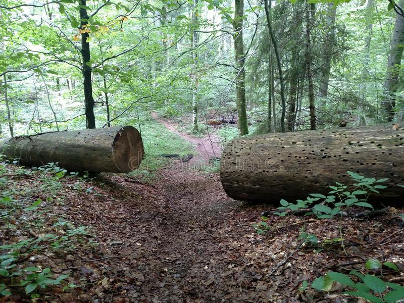 Large sawn tree on two part for pass path Beech broken Obstacle concept Hard life Cleared passage. Nature royalty free stock photography
