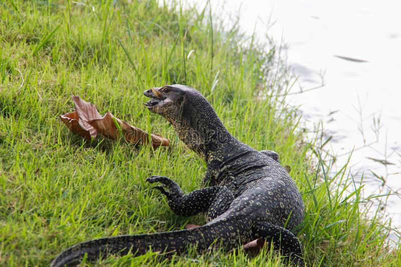 A large scaled monitor lizard in a park in Thailand is hunting on the grass. Wild Animals of Asia royalty free stock photo