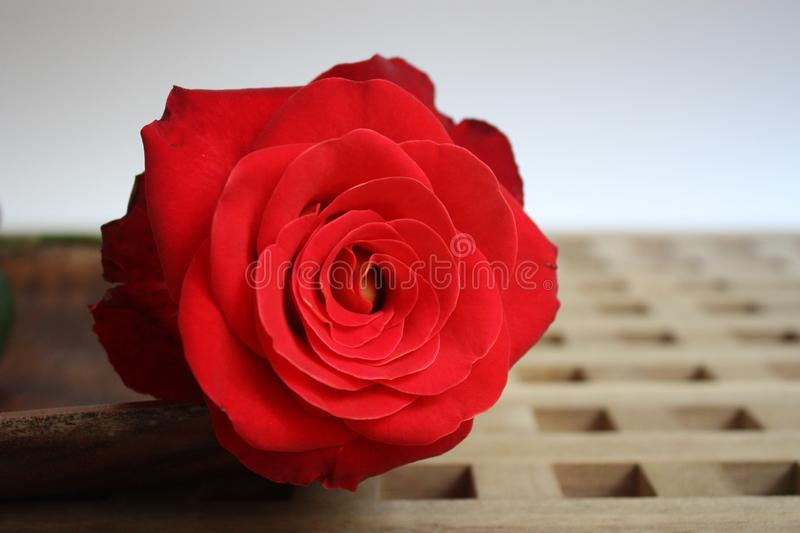 Red rose flower on wooden lattice. Large scarlet rose flower lying horizontally on a wooden lattice.Flower close-up stock photography