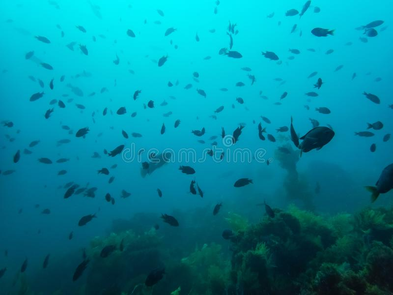 Large School of Fish Silhouette over Kelp Forest in Blue Underwater royalty free stock photos
