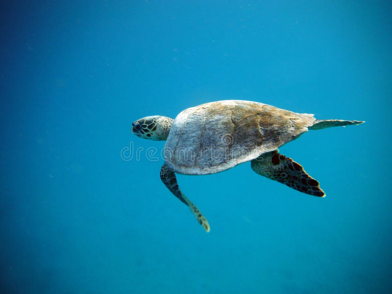 Large sea turtle swims under water royalty free stock image
