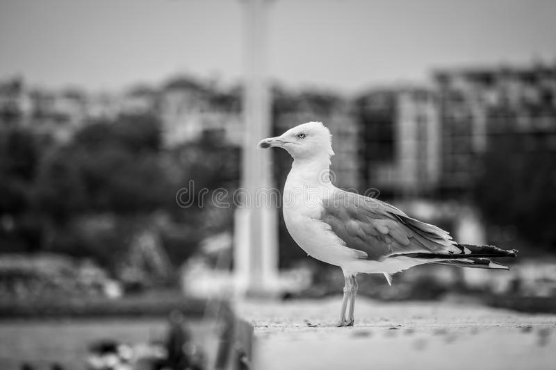 A large seagull on a concrete pier. A large seagull on a concrete pier close up. Black and white stock image