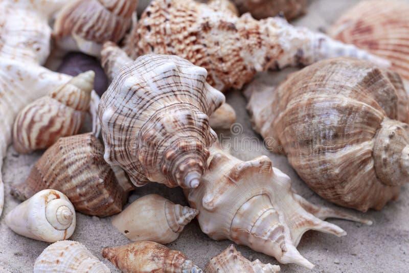 Large seashells on the sand stock images