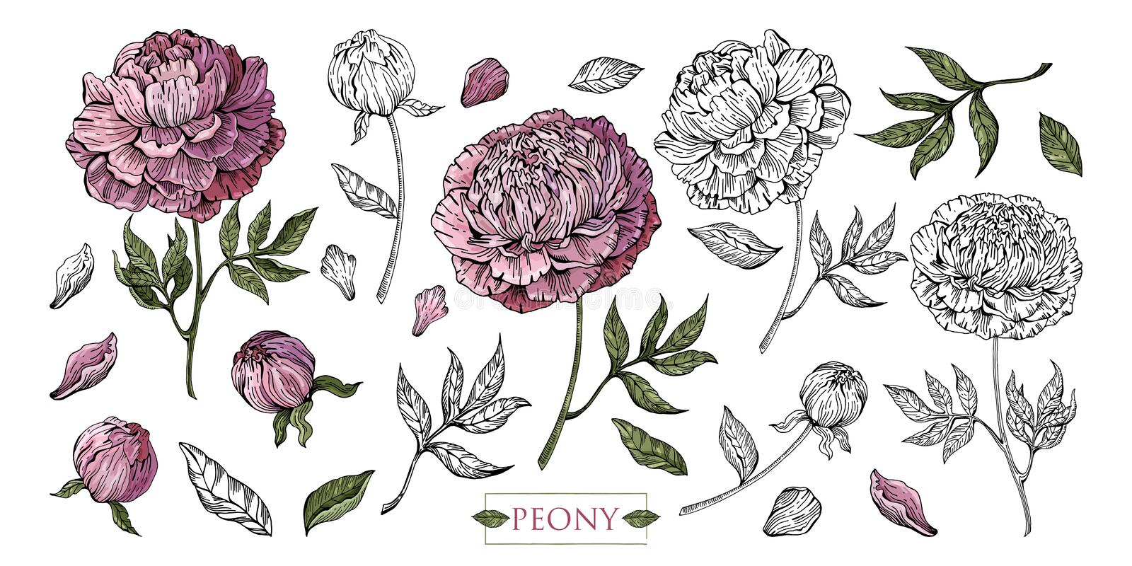 Large set of Botanical illustration. Peony flowers, leaves, stems, buds hand drawn in color and in black and white line. Romantic. Floral elements. Isolated royalty free illustration