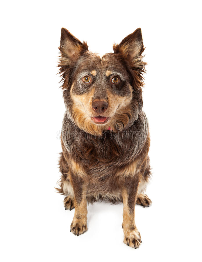Large Shepherd Crossbreed Dog. An attentive and cute adult mixed Shepherd breed dog sitting and looking forward stock photos