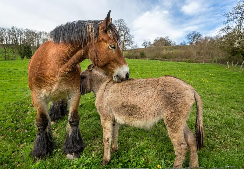 Large Shire Horse and small Donkey biting stock photography