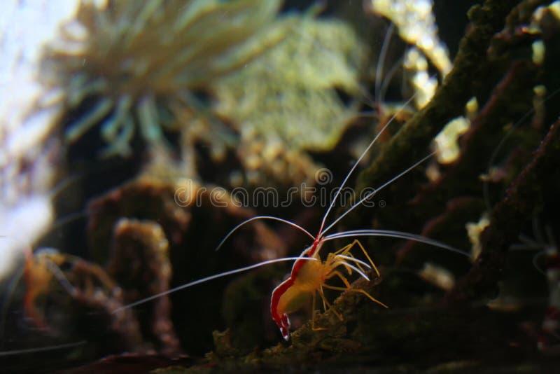 Large shrimp stock image