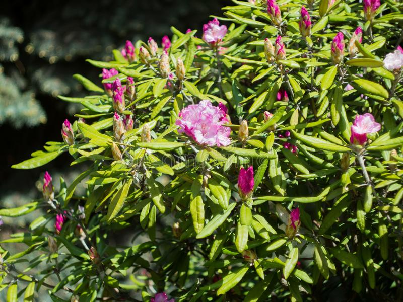 large shrub rhododendron with mauve flowers royalty free stock photography