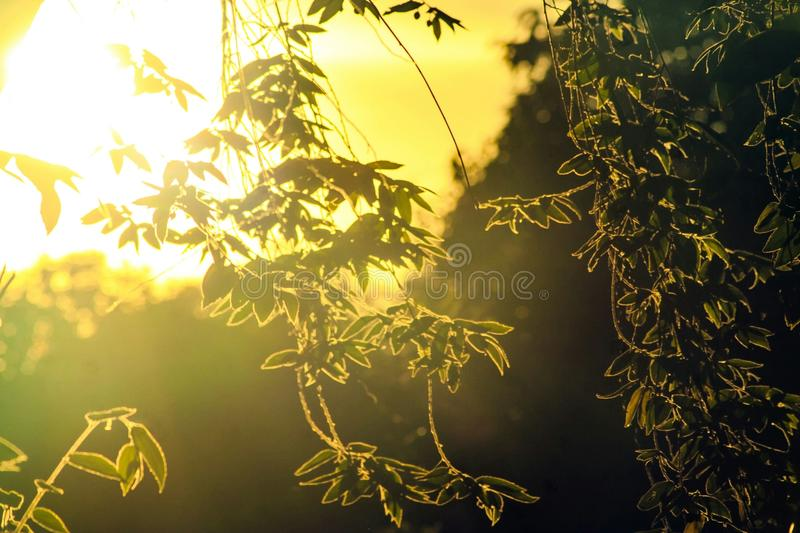 Large shrubs The sun is shining as the background shines through the bush royalty free stock photography