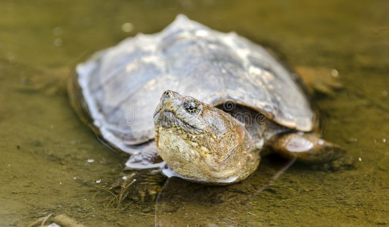 Snapping Turtle in muddy water, Georgia USA. Large six inch carapace plastron Common Snapping Turtle, Chelydra serpentina, in muddy swamp water puddle. May in stock photography