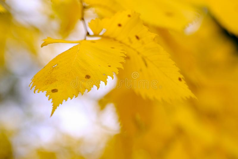Autumn leaves, grass and land. Large size close up photo of bright yellow autumn leaves. Image shows high contrast close up vew of a foliage, deep yellow, almost stock photography