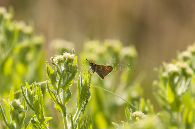 Large Skipper Butterfly. A Large Skipper Butterfly, Ochlodes silvans, resting in the sunshine stock photos