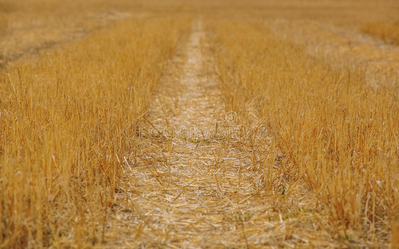 A large, sloping yellow wheat field in the summer. royalty free stock photos