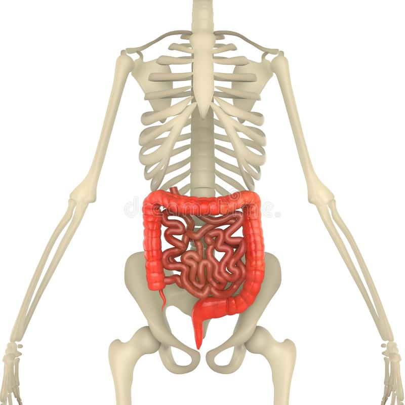 Large And Small Intestine With Skeleton Body Stock Illustration ...