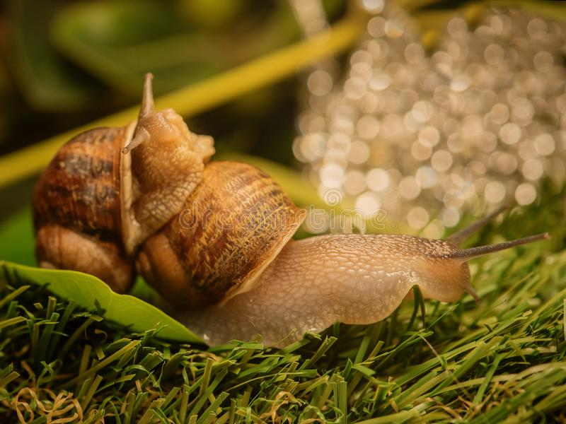 Download Large Snail Is Dragging Another Snail Stock Image - Image of house, european: 118257593