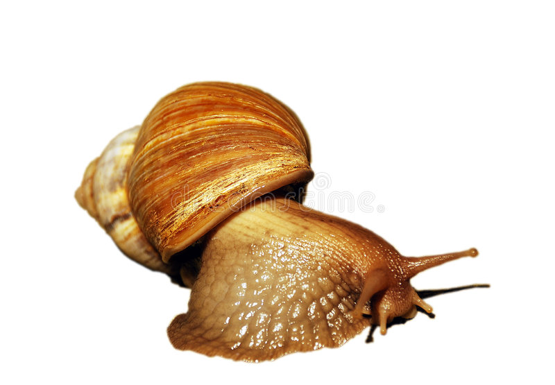 A large snail, isolated royalty free stock images