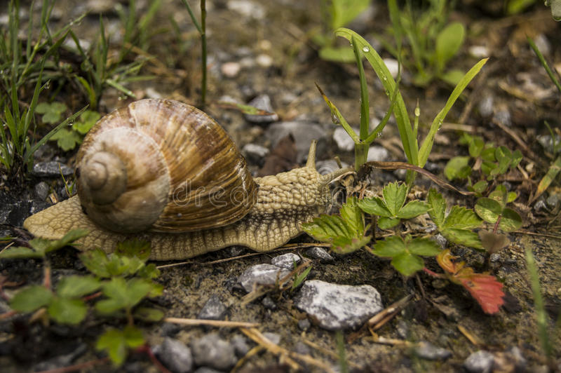 Large snail stock image