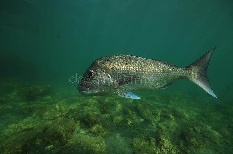 Large snapper above flat bottom stock photography