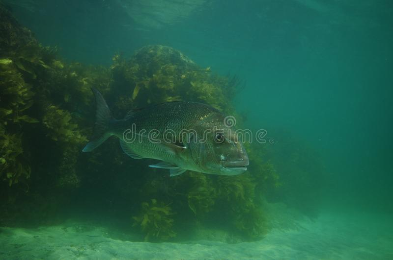 Large snapper in hazy water royalty free stock photography