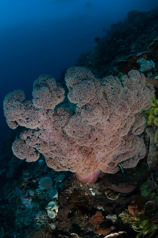 Large Soft Coral Colony on Deep Reef in Indonesia stock image
