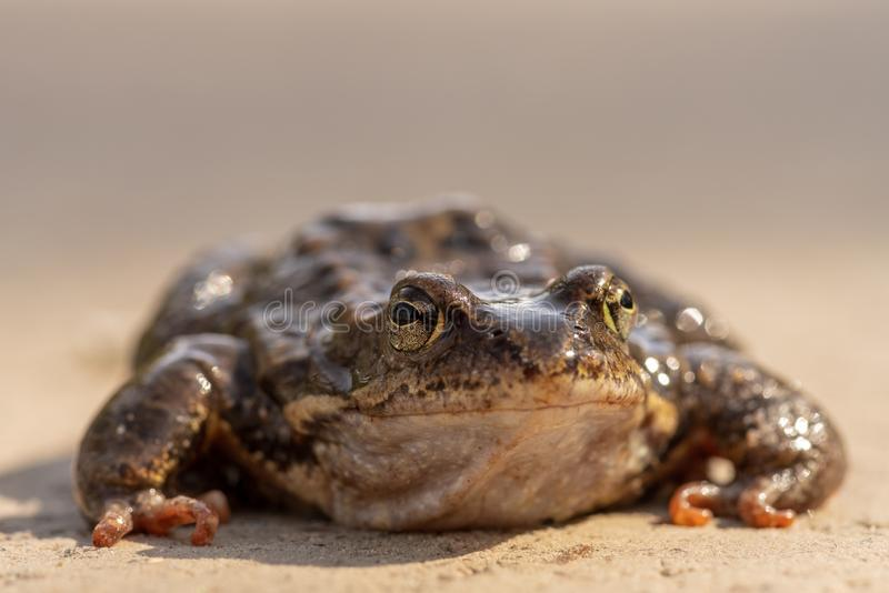 Large speckled toad in spring sunlight. Low angle close up view of a large slimy toad sitting on the ground in spring sunlight stock photography