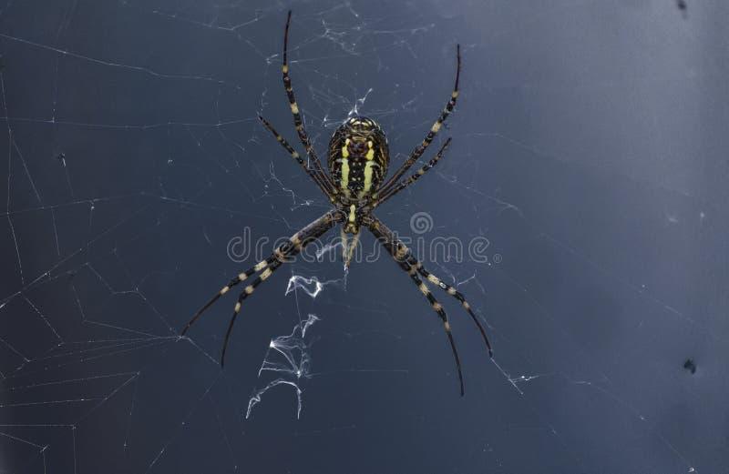 Spider on the web, Argiope bruennichi royalty free stock photos